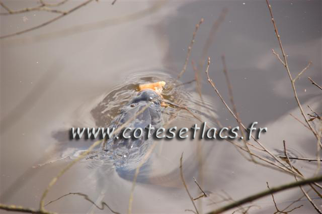 carpe gourmande en surface